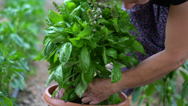 senior women planting basil in flower pot - potted plant stock videos & royalty-free footage
