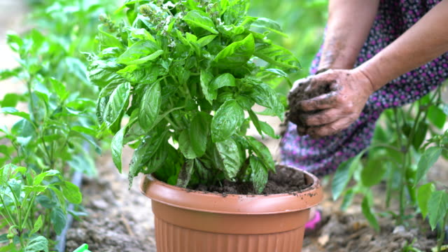 senior women planting basil in flower pot - potting stock videos and b-roll footage