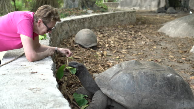 stockvideo's en b-roll-footage met seniors taking on the world, senior woman feeding giant land turtle - bukken