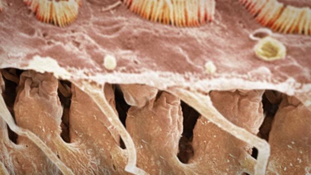 sensory hair cells in ear - micrografia elettronica a scansione video stock e b–roll