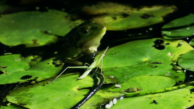 seoul pond frog hunting a long-headed grasshopper in puddle / cheongju-si, chungcheongbuk-do, south korea - 記錄片鏡頭 個影片檔及 b 捲影像