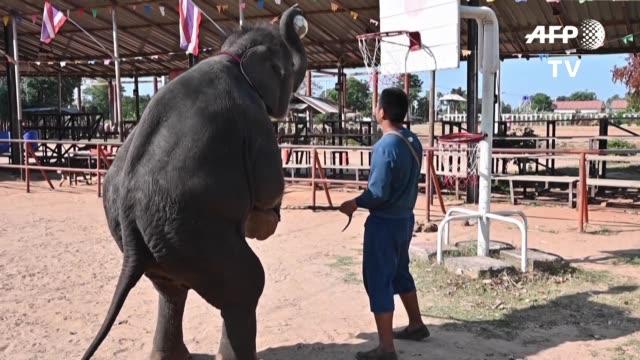 separados de sus madres golpeados y a veces privados de comida los elefantes tailandeses son domesticados por la fuerza antes de ser vendidos a... - comida stock videos & royalty-free footage