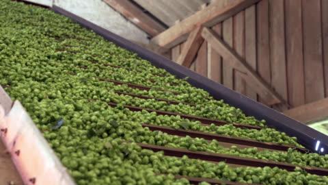separerade humlekottar transporteras på conveyer bälte - gröda bildbanksvideor och videomaterial från bakom kulisserna