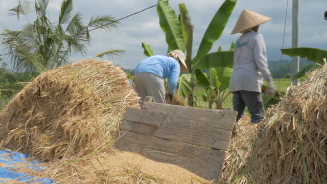 separating rice grain from stalks in jatiluwih, bali, indonesia - rice cereal plant stock videos and b-roll footage