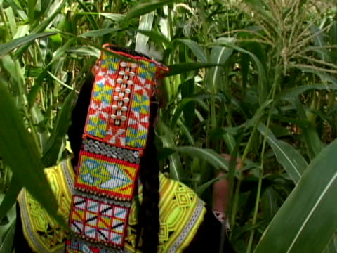 september 15 2005 ms pov woman walking through corn crop / chitral pakistan / audio - only mid adult women stock videos and b-roll footage