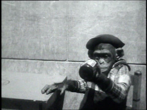 september 7, 1931 ms chimpanzee drinking beer from a bottle / atlanta, georgia, united states - bottle stock videos and b-roll footage