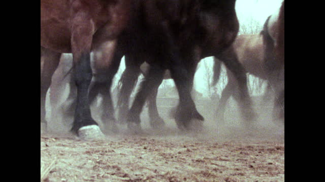 seq. cu herd of horses trotting past creating dust; 1973 - animal colour stock videos & royalty-free footage