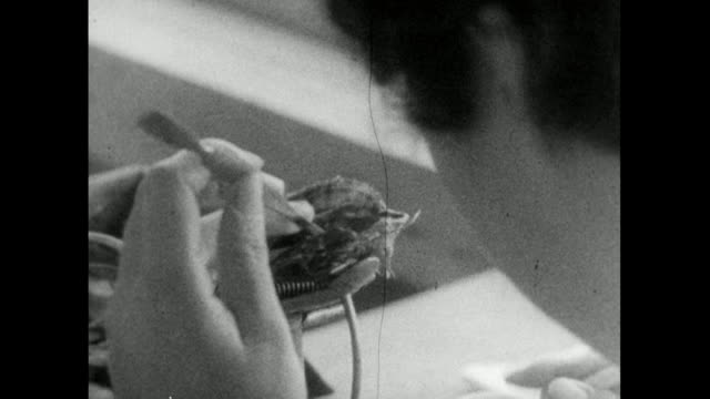 seq. of live oyster being implanted with seed pearl; 1959 - 1950 1959 stock videos & royalty-free footage