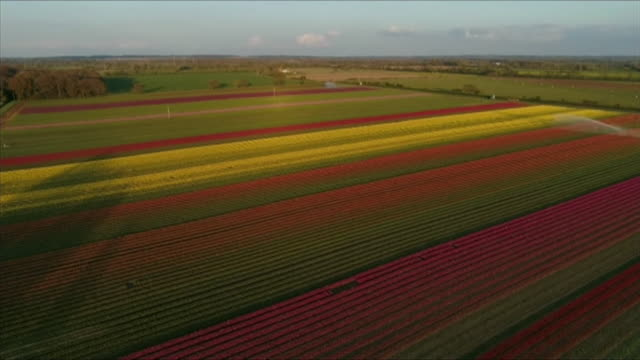 sequence aerials of tulip field, norfolk - dramatic landscape stock videos & royalty-free footage