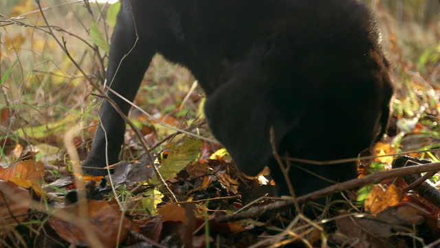 """sequence dog hunts for black truffles - """"bbc universal"""" stock videos & royalty-free footage"""