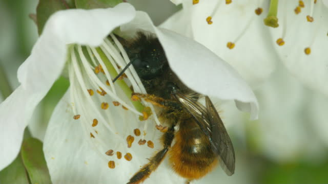 Sequence of cherry blossom flowers being pollinated by bees