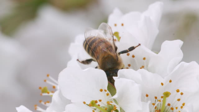 sequence of cherry blossom flowers being pollinated by bees - 受粉点の映像素材/bロール