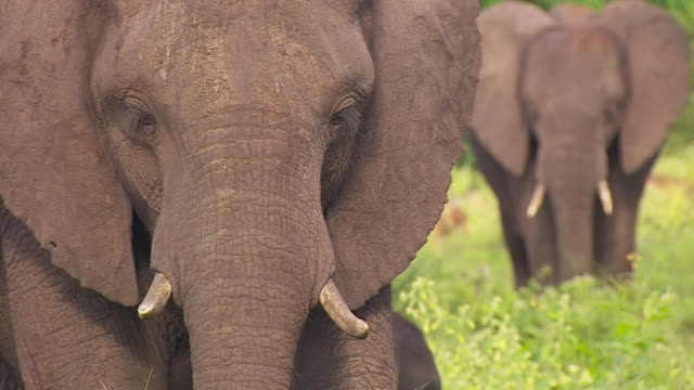 stockvideo's en b-roll-footage met sequence of shots showing groups of african elephants in botswana africa - ernstig bedreigde soorten