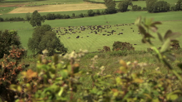 sequence of wide shots showing cattle in county limerick in the republic of ireland. - grazing stock videos & royalty-free footage
