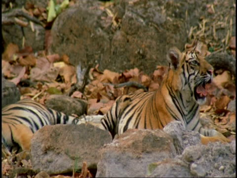 sequence, ms royal bengal tiger (panthera tigris tigris) mother lying with two cubs, bandhavgarh national park, india - national icon stock videos & royalty-free footage