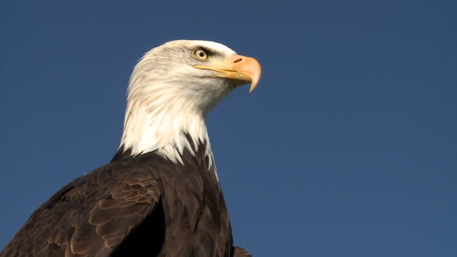 sequence showing a bald headed eagle that is being trained by dutch police to capture illegally flown drones - aquila video stock e b–roll