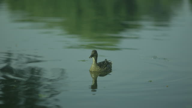 Sequence showing a dabbling and pluming female duck on a river in the UK.