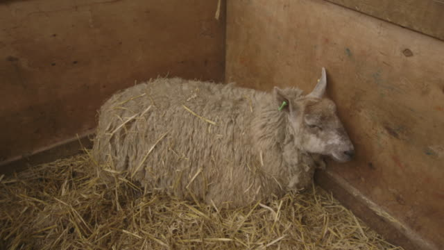 Sequence showing a ewe in labour, UK.