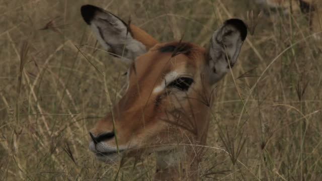 Sequence showing a gazelle as it sticks its head above long grass and is startled, Tanzania.