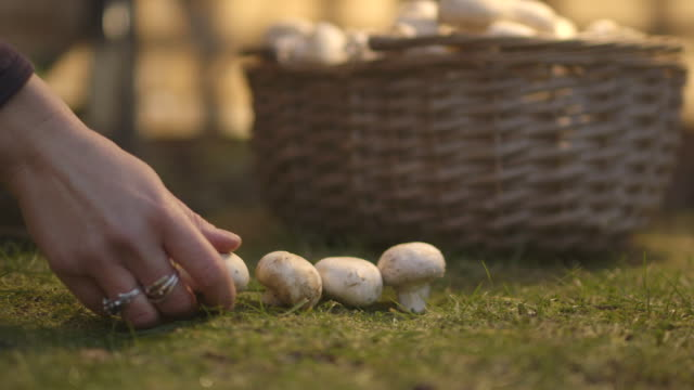 sequence showing a hand picking out white mushrooms from a basket and placing them in lines on the ground, uk. - picking mushrooms stock videos and b-roll footage