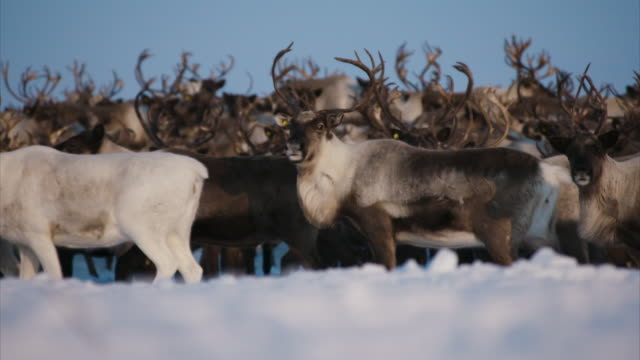 sequence showing a herd of reindeer, one tethered, in kamchatka, russia. - foraggiamento video stock e b–roll