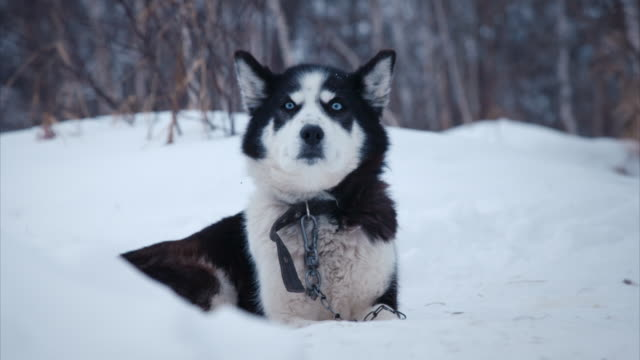 sequence showing a husky dog sitting in snow, kamchatka, russia. - spitz stock-videos und b-roll-filmmaterial