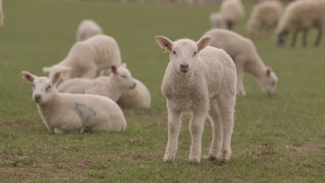 Sequence showing a lamb looking into camera, UK.