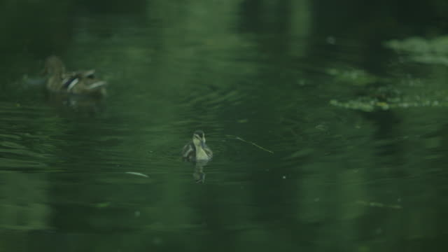 sequence showing a mother duck and her lone duckling on a river in the uk. - two animals stock videos and b-roll footage