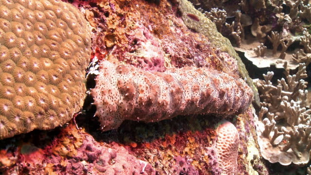 Sequence showing a sea cucumber (Holothuroidea) moving over a coral reef in Thailand.