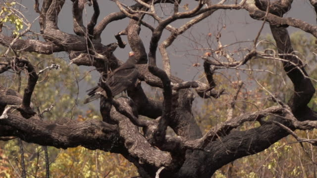 sequence showing a vulture in a gnarled tree in the cerrado savannah which is under threat from land grabs brazil - grass area stock videos and b-roll footage