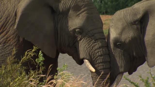 sequence showing african elephants in the wild - 野生生物保護点の映像素材/bロール