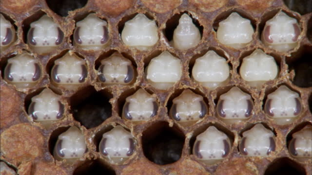 Sequence showing bee larvae in their cells in a beehive.