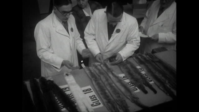 Sequence showing buyers and exhibitors examining mink pelts at a fur exhibition in London