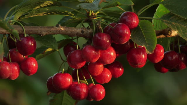 Sequence showing cherries being harvested and hanging on the tree