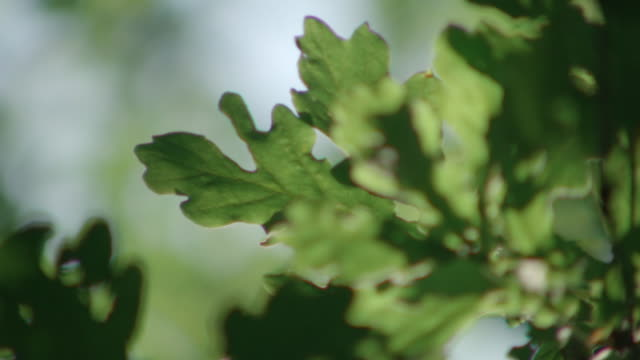 sequence showing close-ups of deeply-lobed english oak (quercus robur) leaves, uk. - panning stock videos & royalty-free footage