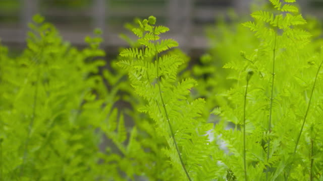 sequence showing close-ups of royal ferns in windsor great park, a plant which will be incorporated into floral designs for prince harry and meghan... - branch plant part stock videos & royalty-free footage