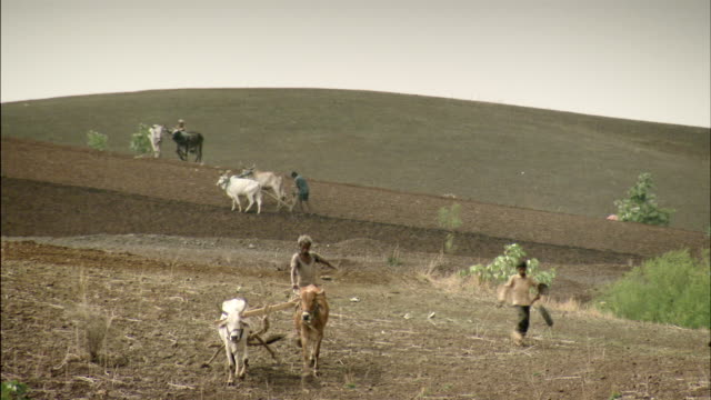 Sequence showing farmers using cattle to plough their fields in the western state of Gujarat, India.