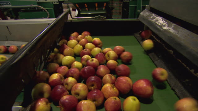 Sequence showing Gala apples being distributed onto conveyor belts in a processing plant in Kent, UK.