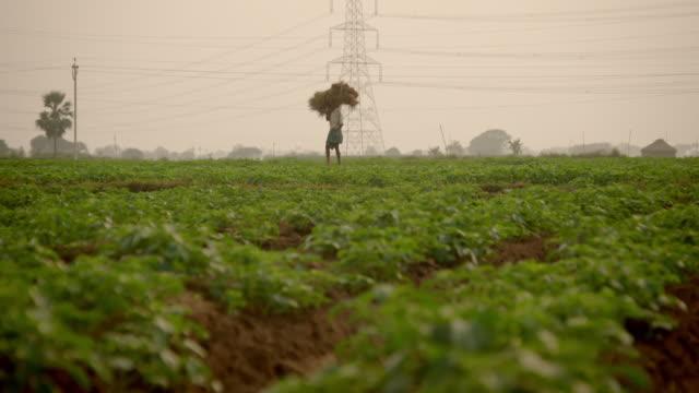 Sequence showing people walking through potato crops on an organic farm in Bihar, India.