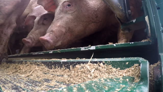 sequence showing pigs entering an abattoir in scotland - pig stock videos & royalty-free footage