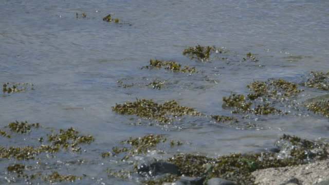 sequence showing seaweed on a pebble beach on the island of rathlin, northern ireland. - seaweed stock videos & royalty-free footage