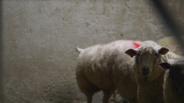 sequence showing sheep and pigs awaiting slaughter in an abattoir, uk. - slaughterhouse stock videos & royalty-free footage
