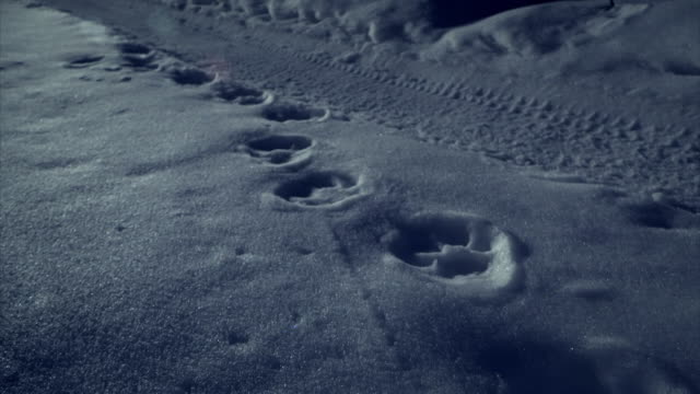 sequence showing siberian tiger tracks in snow in russia's boreal forest. - threatened species stock videos & royalty-free footage