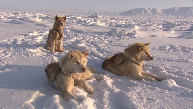 sequence showing sled dogs resting in a snowy landscape in greenland.  - resting stock videos & royalty-free footage