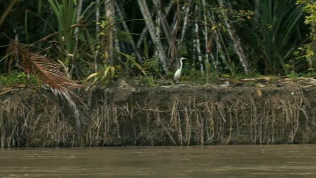 sequence showing the riverbank of the baliem river in a lowland jungle area of papua, including a bird [great egret (ardea alba)?] taking off in flight, indonesia. - bunter reiher stock-videos und b-roll-filmmaterial
