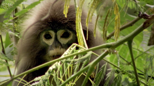 Sequence showing the spectacled langur, also known as the spectacled leaf monkey or dusky leaf monkey (Trachypithecus obscurus) at Sepahijala Wildlife Sanctuary in Uttar Charilam, Tripura, India.
