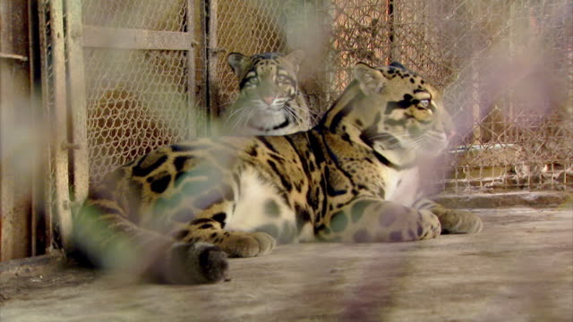 Sequence showing two clouded leopards (Neofelis nebulosa) in captivity at the Sepahijala Wildlife Sanctuary, Uttar Charilam, Tripura, north-east India.