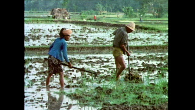 sequence showing two men and a woman working in a wet rice paddy using forked hoes and surrounded by crop; bali, 1985. - pacific islanders stock videos & royalty-free footage