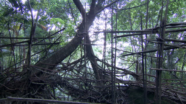 stockvideo's en b-roll-footage met sequence showing umkar living root bridge, constructed from the live aerial roots of rubber trees, siej, meghalaya, india. - voetgangerspad