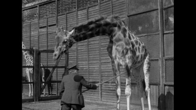 Sequence showing zoo keepers at Whipsnade Zoo grooming a giraffe and a rhinoceros